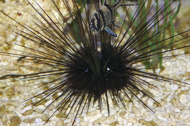 A sea urchin looking for food