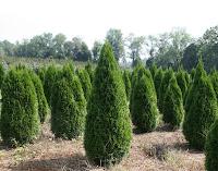Küçük ve sivri ağaçlar şeklinde mazı bitkileri