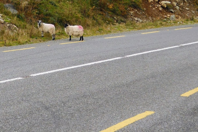 Ring of Kerry Drive: Sheep in the road