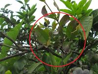 Pengertian Tumbuhan Parasit, Epifit, Saprofit Dan Contohnya