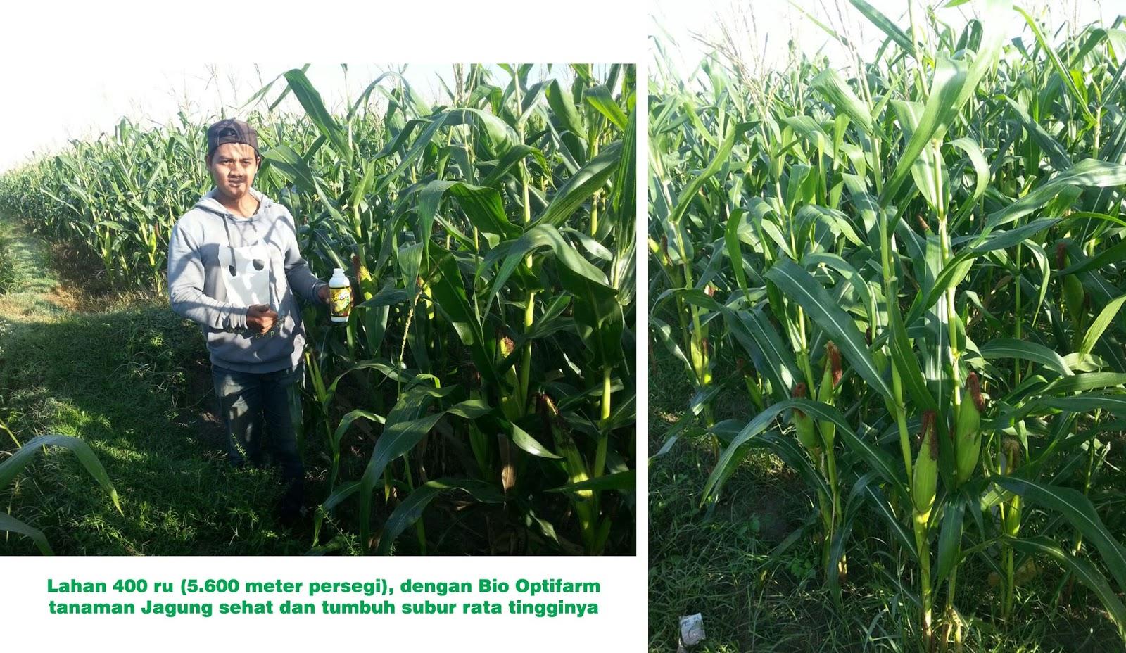 Bio Optifarm optimalkan pertumbuhan jagung walaupun pupuk dasar dikurangi