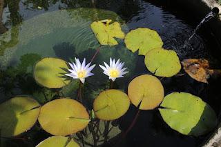 lotus-azul-do-egito-no lago