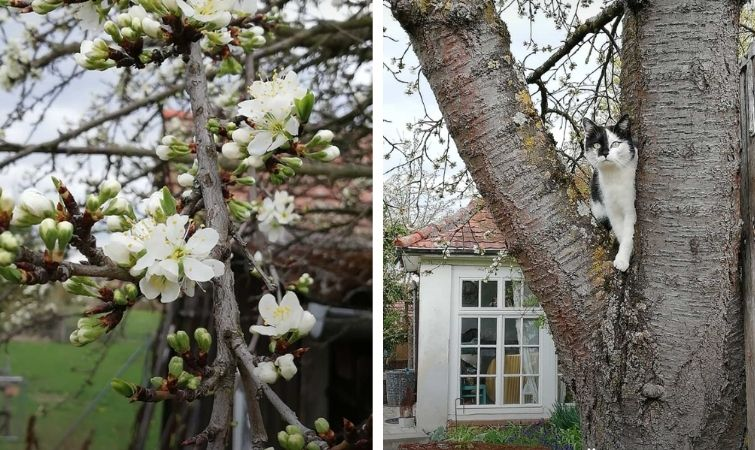 Obstbaumblüten Kirschbaum