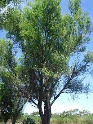 伐採から逃れたヤナギの枝ぶり