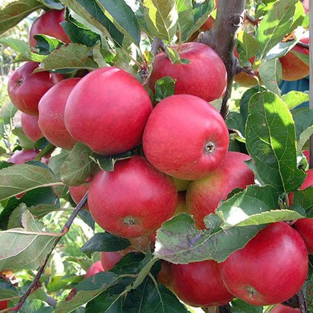 Buruan Beli! Paket 3 Bibit Pohon Apel Anna Cepat Berbuah Termurah Kota Surabaya #Jual bibit buah