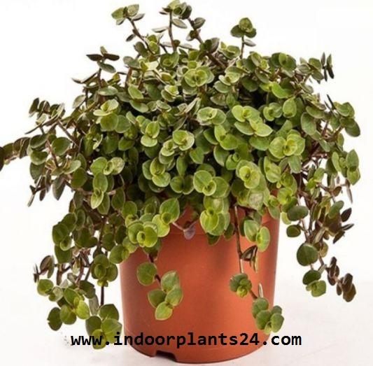 Callisia Repens Commelinaceae CALLISIA house plant image