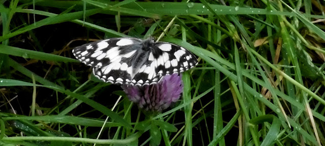 Marbled White Melanargia galathea.  Indre et Loire, France. Photographed by Susan Walter. Tour the Loire Valley with a classic car and a private guide.