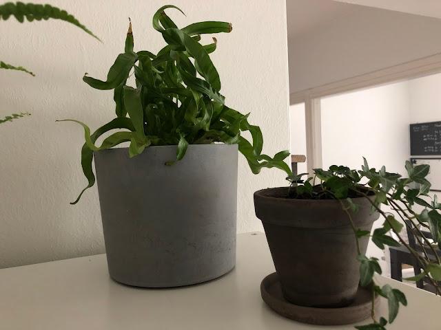 Kokeilin ensin Pesäraunioista hyllynpäälle, jossa on kolme muutakin kasvia, mutta se päätyi kuitenkin siirtymään olohuoneen ikkunalaudalle