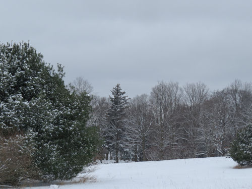 snowy landscape with pines and maple trees