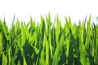 Daun jagung tulang daunnya sejajar
