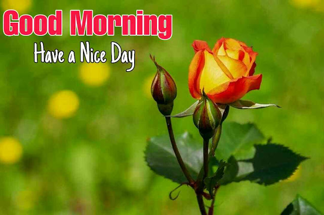 Good morning have a nice day with beautiful rose flower