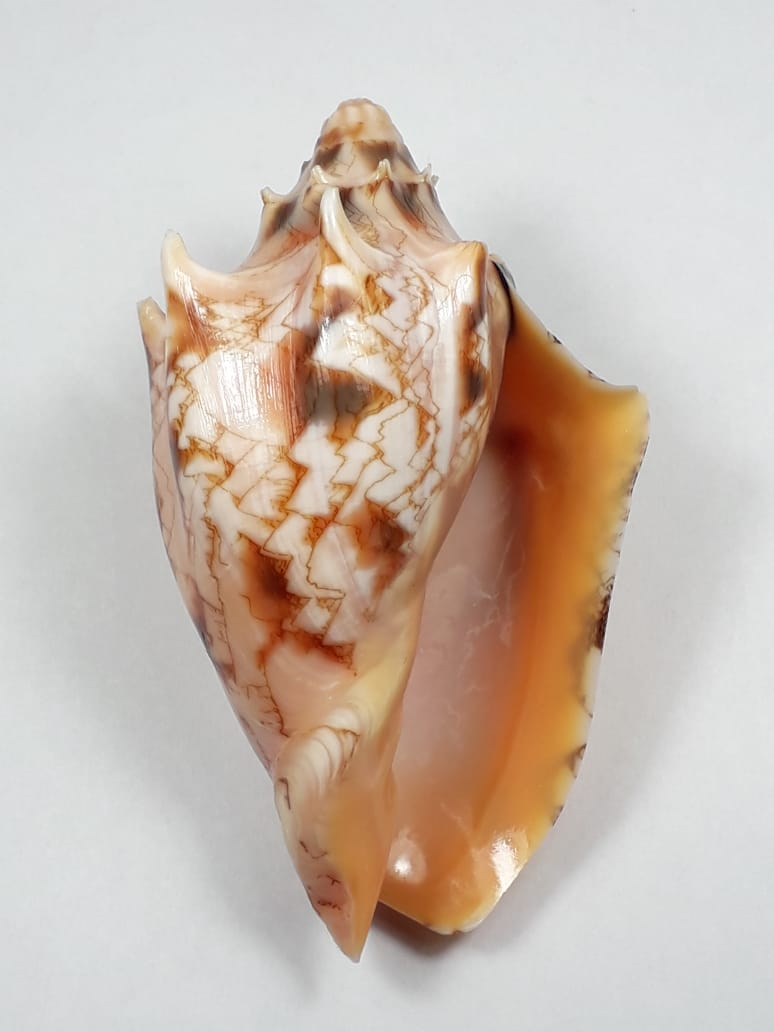 Cymbiola vespertilio - (Linnaeus, 1758) 59