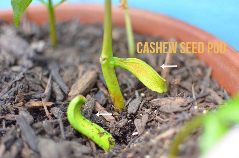 How Cashew Nuts Grow