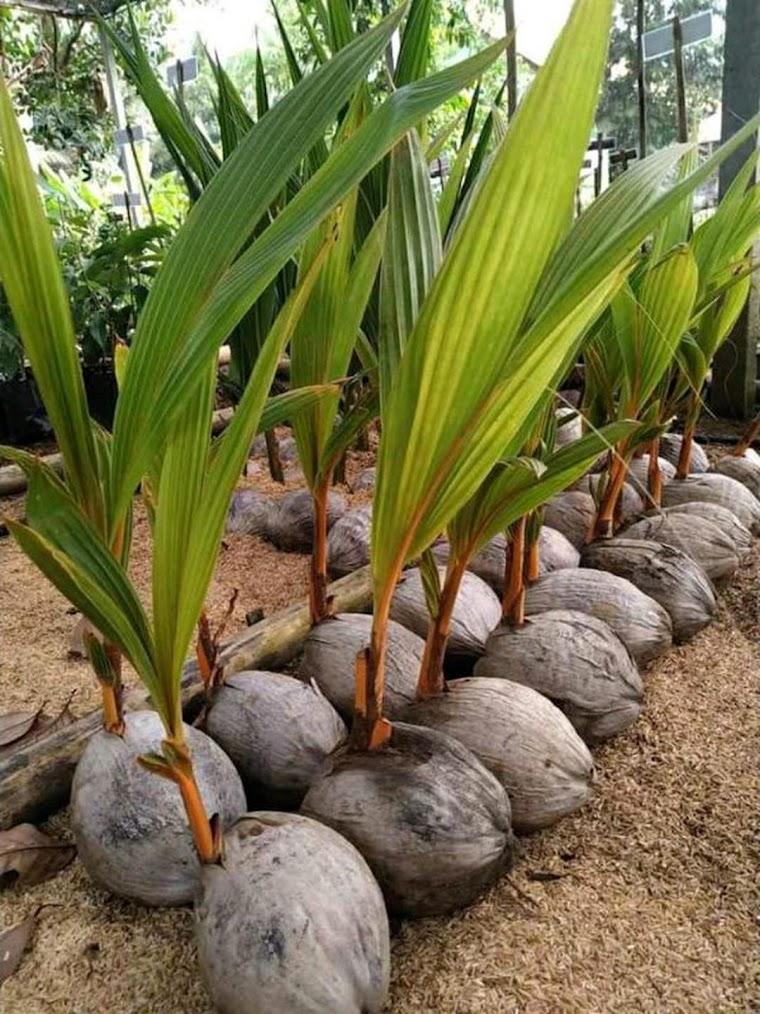 bibit kelapa gading kuning Aceh