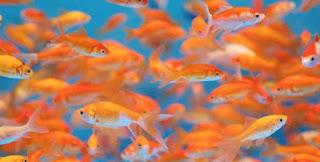 Carp Livestock Cultivation Big Fast And Great Harvest