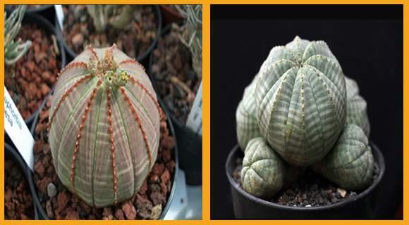 tanaman euphorbia obesa