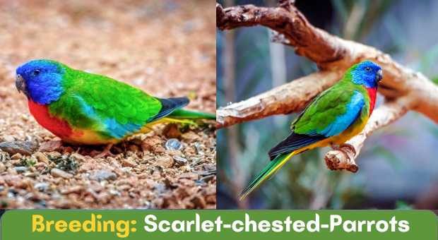 how to breed Scarlet-chested Parrots
