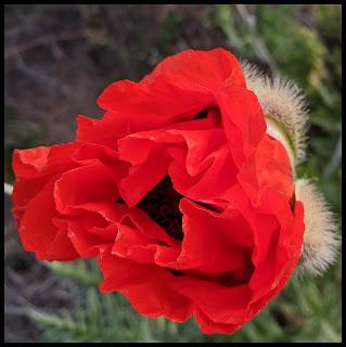 Alpine Poppy Field Red Poppy