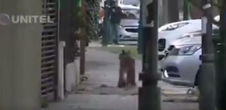 Puma baja a buscar alimento a ciudad en plena cuarentena por el coronavirus (video)