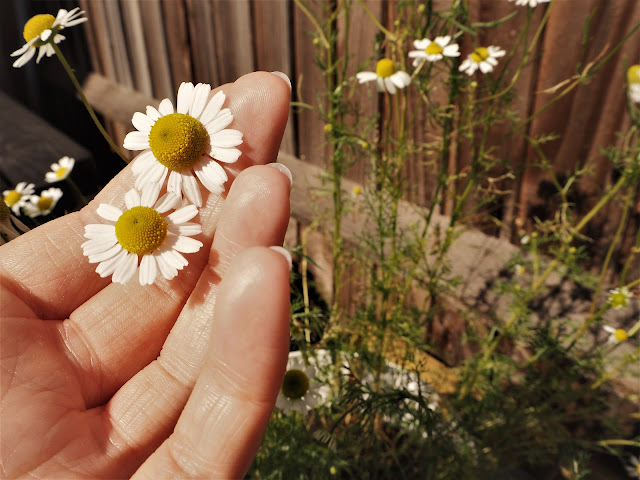 Growing Chamomile Flowers in Pot