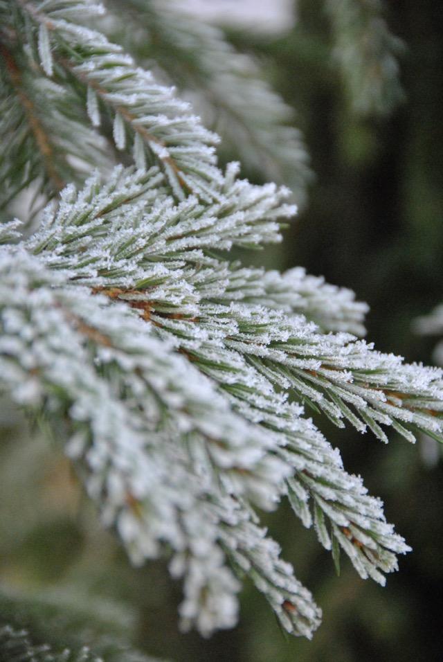 foto Leia Hjort frost på gran