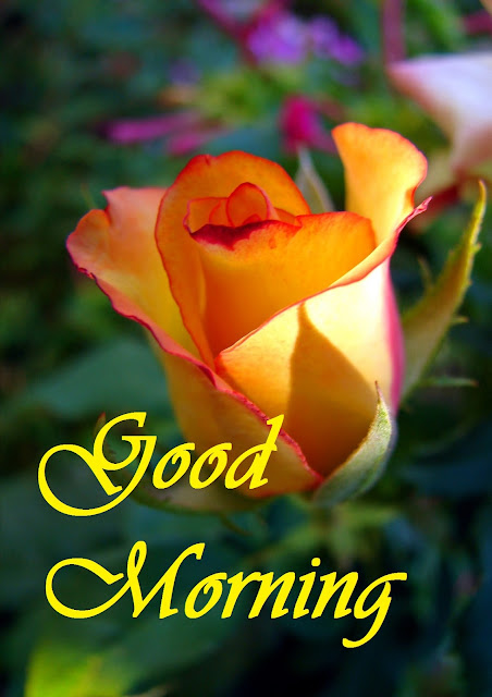 Good Morning red and Yellow Rose HD Image