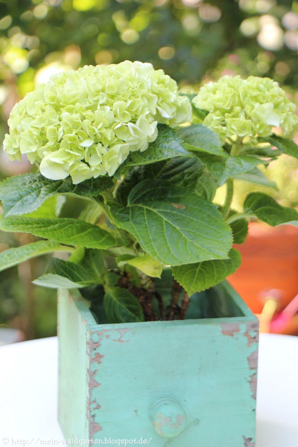 mein waldgarten der pflanzabstand der hortensien. Black Bedroom Furniture Sets. Home Design Ideas