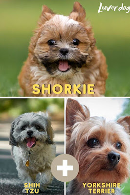 Shorkie