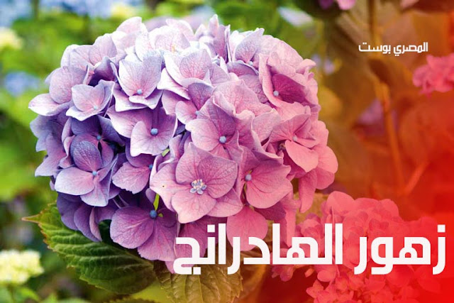 زهور الهادرنج - صور ورد - وررود - صور زهور