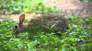 Le lepri, gli animali selvatici per eccellenza