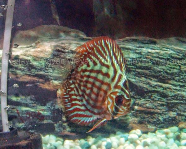Discus Fish Names http://aquarium.stinglifestyle.com/2011/05/discus