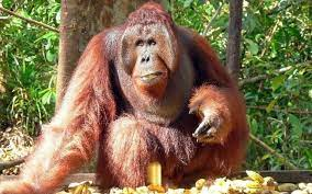Daerah Jelajah orangutan