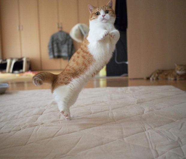 Cặp mèo chân ngắn một mẩu đốn tim cư dân mạng