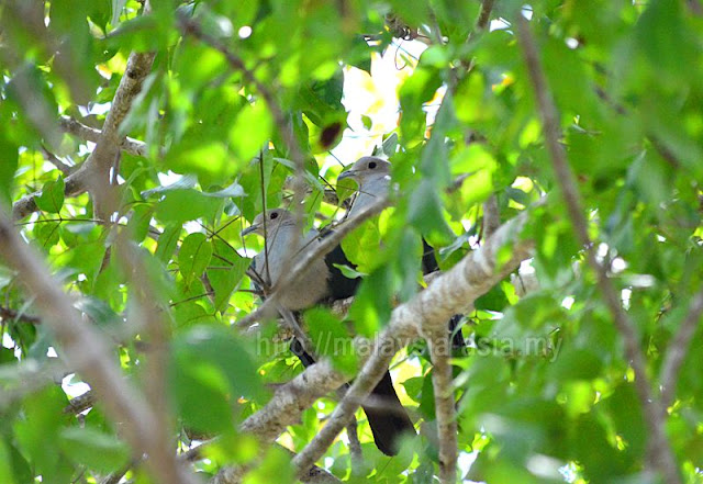 Green Pigeons Komodo Island Flores