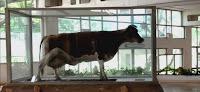 video-la-vaca-que-fidel-leche-holanda