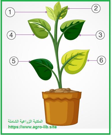 سؤال و جواب في التسميد : كيف تظهر الأعراض العامة لنقص العناصر الغذائية على محاصيل الفاكهة ؟