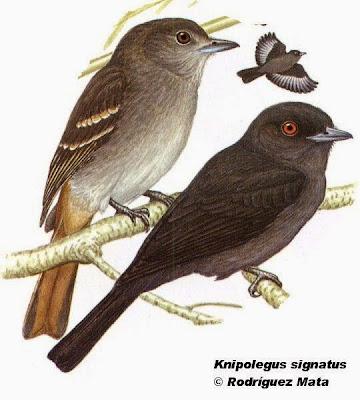 Viudita plomiza, Viudita andina, Knipolegus signatus