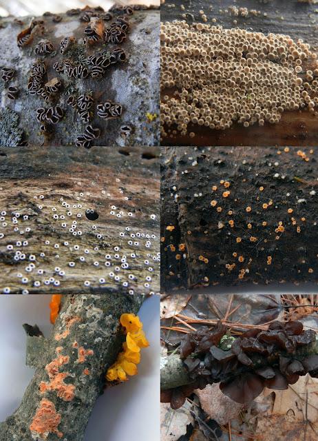 Encoelia fascicularis; Merismodes sp.; Stictis radiata; Arachnopeziza aurata; Tremella mesenterica, Peniophora incarnata; Exidia recisa