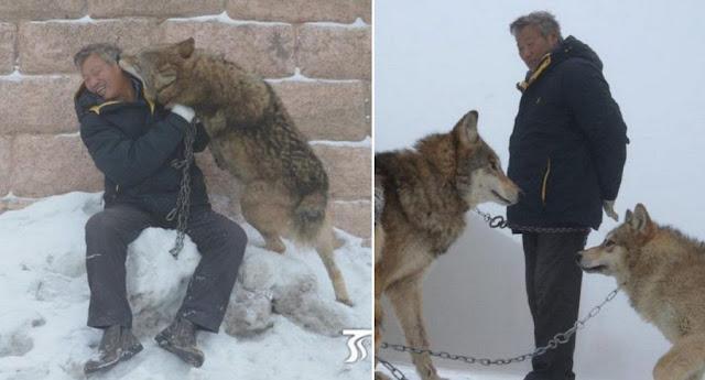 Lelaki Ini Memilih Serigala Sebagai Haiwan Peliharaan. Ini Sebabnya