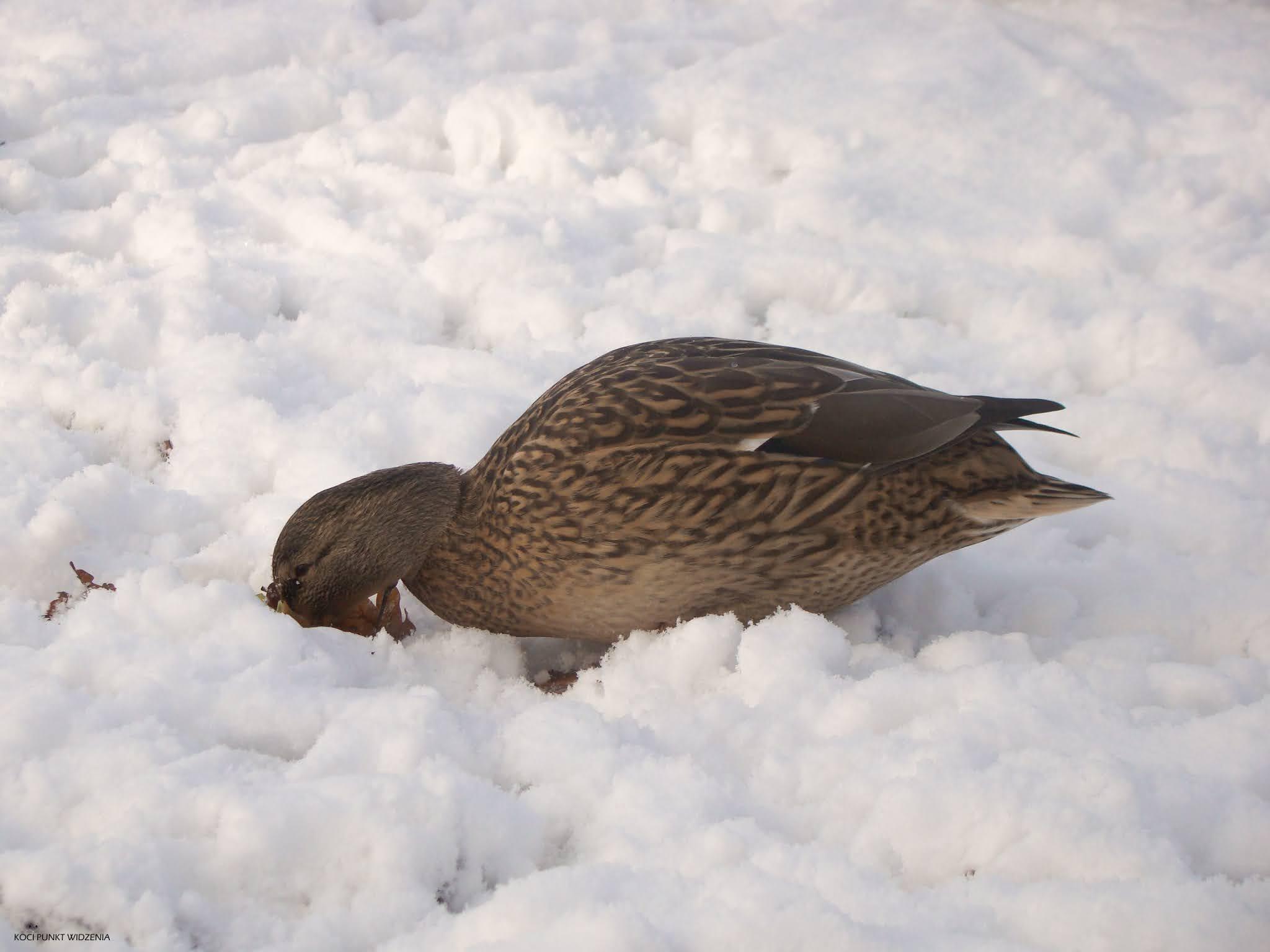 kaczka na śniegu