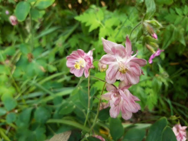 Close up of pale pink Aquilegia flowers