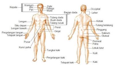 Organ bagian anterior dan posterior