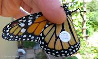 My 1st tagged Monarch: XPM 219 - © Denise Motard