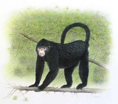 Myanmar snub nosed monkey