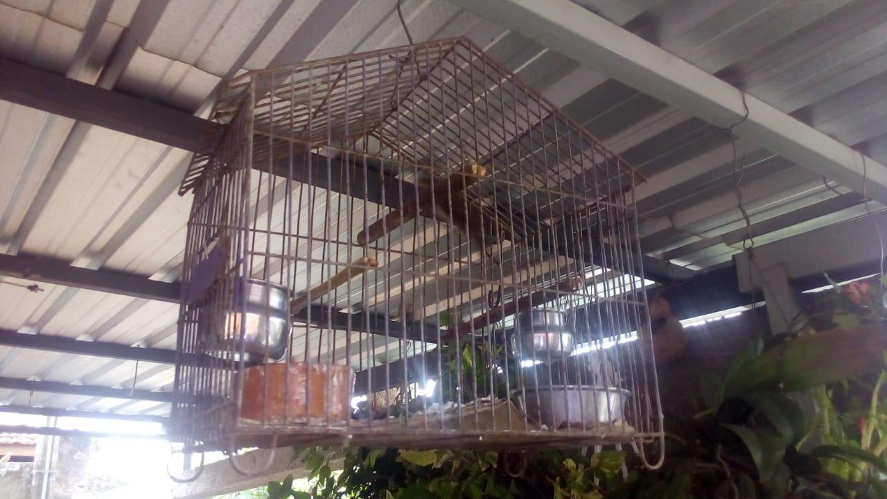 Operação em Pinhal resgata aves de cativeiro e multa moradores em mais de R$ 19 mil
