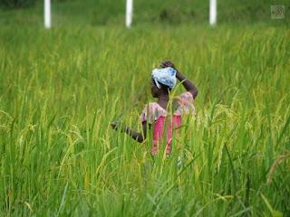 Home gardening rice in Liberia