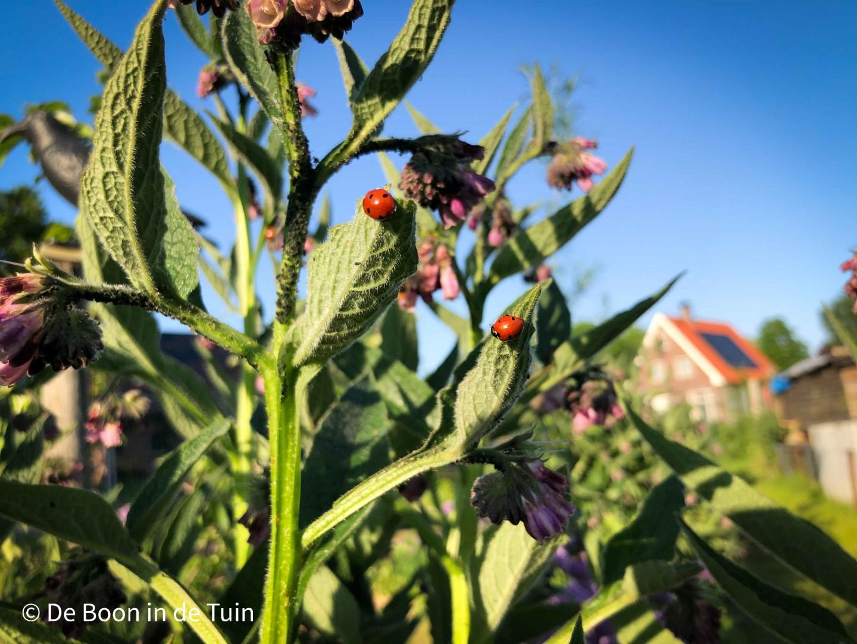 moestuin juni volkstuin zomer bloei russische smeerwortel bocking 14