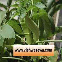 Bhindi ki unnat खेती कब, कैसे करे तथा इससे सम्बंधित सम्पूर्ण जानकारी