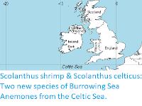 https://sciencythoughts.blogspot.com/2020/05/scolanthus-shrimp-scolanthus-celticus.html