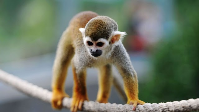 Researchers integrate human stem cells into monkey embryo